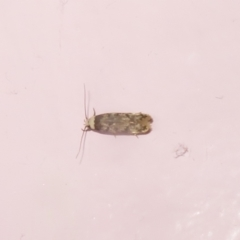Endrosis sarcitrella (White Shouldered House Moth) at Flynn, ACT - 16 Jan 2021 by Christine