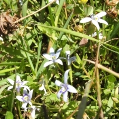 Isotoma fluviatilis subsp. australis (Swamp Isotome) at Jones Creek, NSW - 22 Nov 2005 by abread111