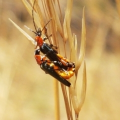 Chauliognathus tricolor (Tricolor soldier beetle) at Mount Painter - 20 Jan 2021 by tpreston