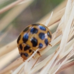 Harmonia conformis (Common Spotted Ladybird) at Cook, ACT - 20 Jan 2021 by tpreston