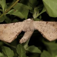 Circopetes obtusata (Grey Twisted Moth) at Melba, ACT - 6 Jan 2021 by kasiaaus