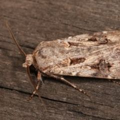 Agrotis munda (Brown Cutworm) at Melba, ACT - 6 Jan 2021 by kasiaaus