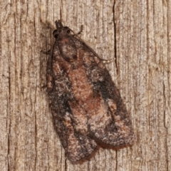 Thrincophora inconcisana (A Tortricid moth) at Melba, ACT - 6 Jan 2021 by kasiaaus