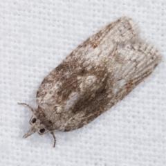 Tortricinae (subfamily) at Melba, ACT - 7 Jan 2021