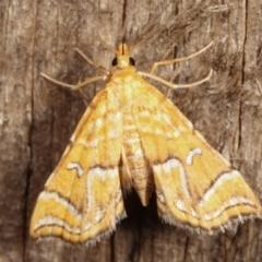 Musotima ochropteralis (A Crambid moth) at Melba, ACT - 7 Jan 2021 by kasiaaus