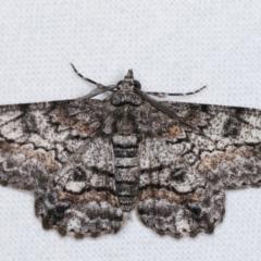 Cleora displicata (A Geometrid moth) at Melba, ACT - 7 Jan 2021 by kasiaaus