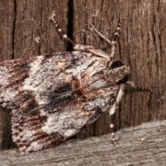 Spectrotrota fimbrialis (A Pyralid moth) at Melba, ACT - 7 Jan 2021 by kasiaaus
