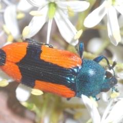 Castiarina skusei (A Jewel Beetle) at Aranda Bushland - 17 Jan 2021 by Harrisi