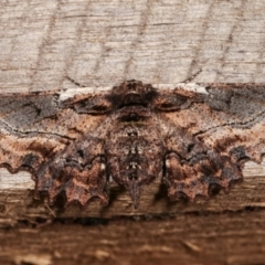 Pholodes sinistraria (Sinister Moth, Frilled Bark Moth) at Melba, ACT - 8 Jan 2021 by kasiaaus