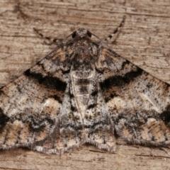 Gastrinodes argoplaca (Cryptic Bark Moth) at Melba, ACT - 8 Jan 2021 by kasiaaus
