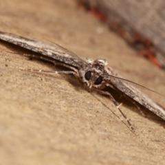 Syneora euboliaria at Melba, ACT - 8 Jan 2021