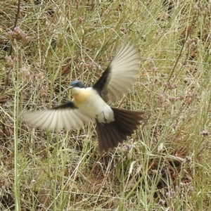 Myiagra inquieta (Restless Flycatcher) at Upper Nepean State Conservation Area by GlossyGal