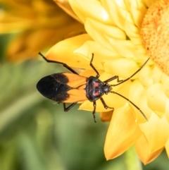 Oncopeltus (Oncopeltus) sordidus (Milk vine bug) at Acton, ACT - 19 Jan 2021 by Roger