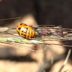 Harmonia conformis (Common Spotted Ladybird) at Mulligans Flat - 16 Jan 2021 by WindyHen