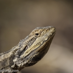 Pogona barbata (Eastern Bearded Dragon) at Jacka, ACT - 14 Jan 2021 by BIrdsinCanberra