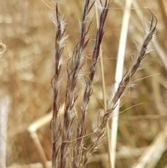 Bothriochloa macra (Red Grass, Red-leg Grass) at Ginninderry Conservation Corridor - 20 Jan 2021 by tpreston