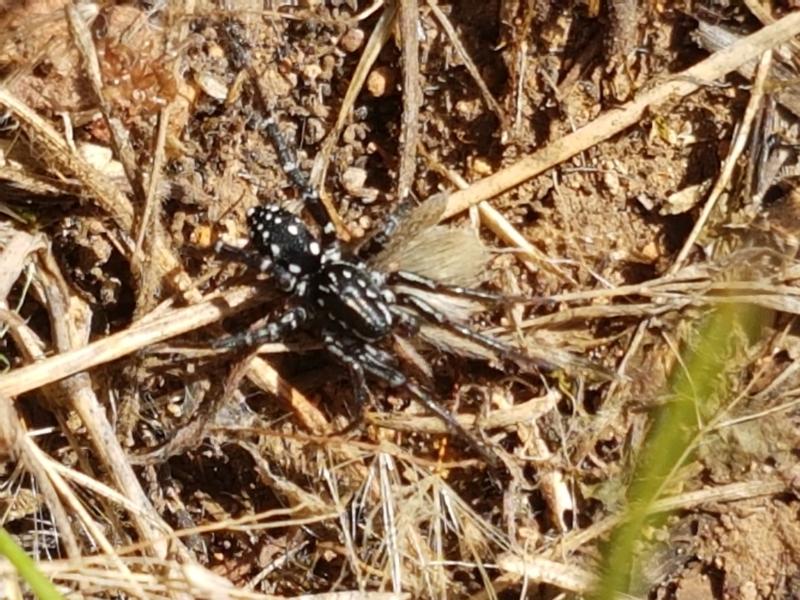 Nyssus albopunctatus at Ginninderry Conservation Corridor - 20 Jan 2021
