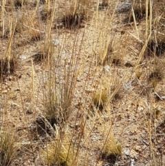 Austrostipa densiflora (Foxtail Speargrass) at Ginninderry Conservation Corridor - 20 Jan 2021 by tpreston