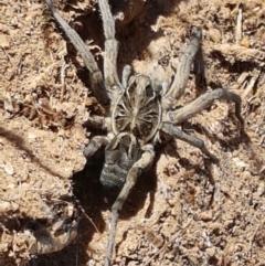 Tasmanicosa godeffroyi (Garden Wolf Spider) at Ginninderry Conservation Corridor - 20 Jan 2021 by tpreston