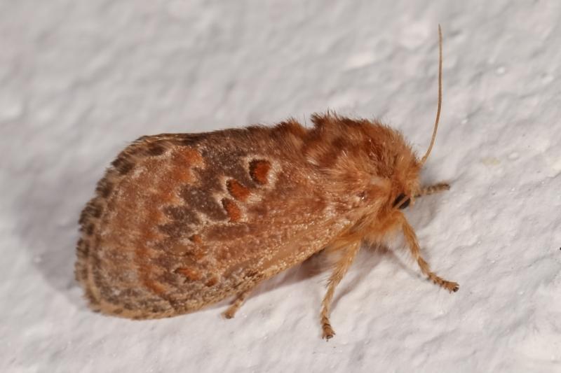 Pseudanapaea (genus) at Melba, ACT - 9 Jan 2021