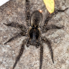 Lycosidae sp. (family) (Unidentified wolf spider) at Melba, ACT - 19 Jan 2021 by Bron