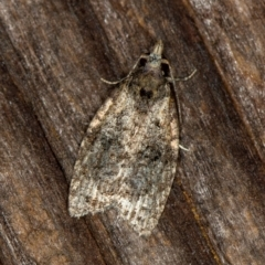 Capua intractana (A Tortricid moth) at Melba, ACT - 19 Jan 2021 by Bron