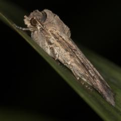 Agrotis infusa (Bogong Moth, Common Cutworm) at Melba, ACT - 19 Jan 2021 by Bron