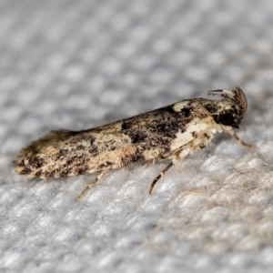 Barea (genus) at Melba, ACT - 19 Jan 2021
