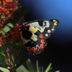 Delias aganippe (Spotted Jezebel) at Namadgi National Park - 18 Jan 2021 by RodDeb
