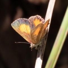 Paralucia aurifer (Bright Copper) at Tidbinbilla Nature Reserve - 19 Jan 2021 by RodDeb