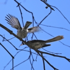 Rhipidura albiscapa (Grey Fantail) at Tidbinbilla Nature Reserve - 19 Jan 2021 by RodDeb