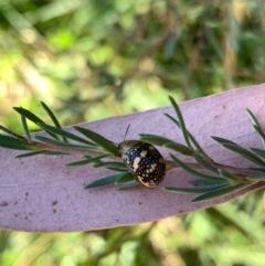 Paropsis pictipennis (Tea-tree button beetle) at Murrumbateman, NSW - 20 Jan 2021 by SimoneC