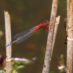 Xanthagrion erythroneurum (Red & Blue Damsel) at Tidbinbilla Nature Reserve - 19 Jan 2021 by RodDeb