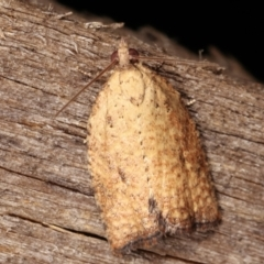 Tortricinae sp. (subfamily) (A tortrix moth) at Melba, ACT - 9 Jan 2021 by kasiaaus