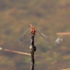 Diplacodes bipunctata (Wandering Percher) at Tidbinbilla Nature Reserve - 19 Jan 2021 by RodDeb