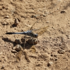 Orthetrum caledonicum (Blue Skimmer) at Hall, ACT - 19 Jan 2021 by Tammy