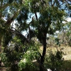 Acacia implexa at Red Hill Nature Reserve - 20 Jan 2021