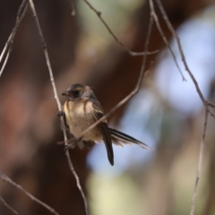 Rhipidura albiscapa (Grey Fantail) at Jacka, ACT - 19 Jan 2021 by Tammy