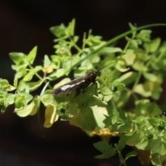 Nyctemera amicus (Senecio or Magpie moth) at Tidbinbilla Nature Reserve - 19 Jan 2021 by RodDeb