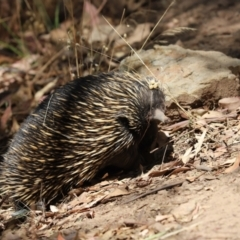 Tachyglossus aculeatus (Short-beaked Echidna) at Hall, ACT - 19 Jan 2021 by Tammy