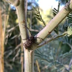 Ancita australis (TBC) at Murrumbateman, NSW - 20 Jan 2021 by SimoneC