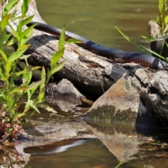 Pseudechis porphyriacus (Red-bellied Black Snake) at Tidbinbilla Nature Reserve - 19 Jan 2021 by RodDeb