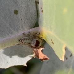 Opisthoncus sexmaculatus (Six-marked jumping spider) at Murrumbateman, NSW - 20 Jan 2021 by SimoneC