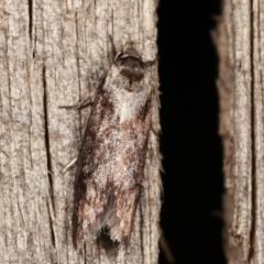 Oenochroa dinosema (A Concealer moth) at Melba, ACT - 9 Jan 2021 by kasiaaus