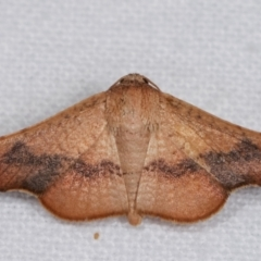 Aglaopus centiginosa (Dark-fringed Leaf Moth) at Melba, ACT - 9 Jan 2021 by kasiaaus