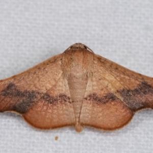 Aglaopus centiginosa at Melba, ACT - 9 Jan 2021
