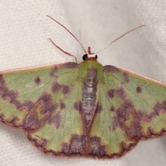 Prasinocyma rhodocosma (Northern Emerald) at Melba, ACT - 9 Jan 2021 by kasiaaus