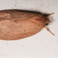 Garrha leucerythra (A concealer moth) at Melba, ACT - 9 Jan 2021 by kasiaaus