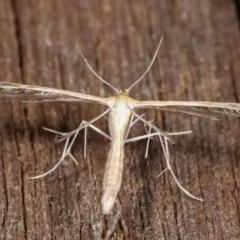 Pterophoridae sp. (family) (A Plume Moth) at Melba, ACT - 9 Jan 2021 by kasiaaus