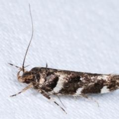 Macrobathra (genus) (A cosmet moth) at Melba, ACT - 9 Jan 2021 by kasiaaus